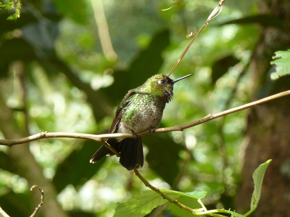Hummingbird, Green, Feathers, Bird, Beak, Perch, Andes
