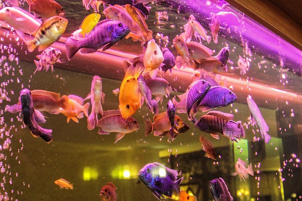 Aquarium, Ornamental Fish, Fish, Freshwater Fish, Perch