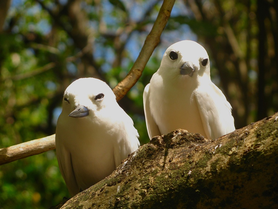 White Tern, Terns, Birds, Branch, Limb, Tree, Perch