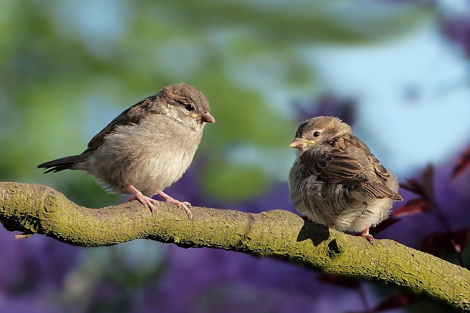 Sparrows, Birds, Perched, Sperlings, Animals, Feathers