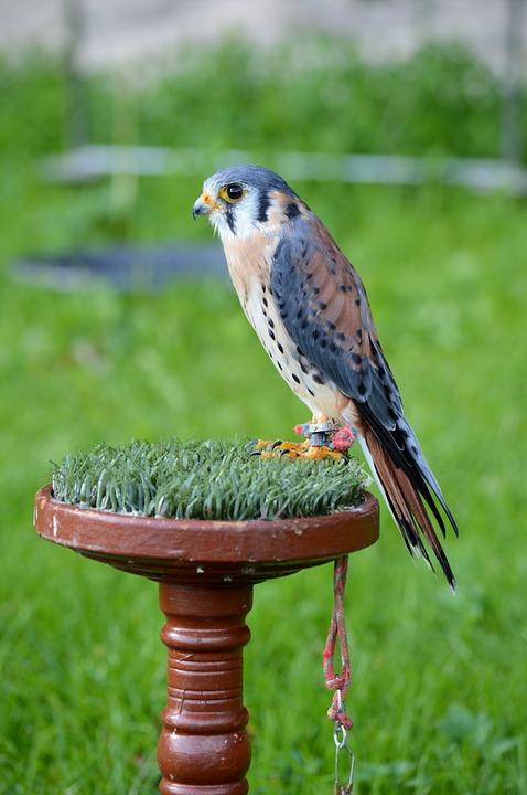 Falcon, Bird, Raptor, Perched, Wildlife, Aves, Avian