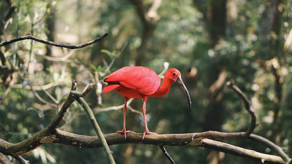 Scarlet Ibis, Bird, Beak, Branches, Perched