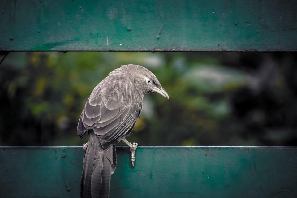 Bird, Fence, Black Bird, Perched, Perched Bird, Beak