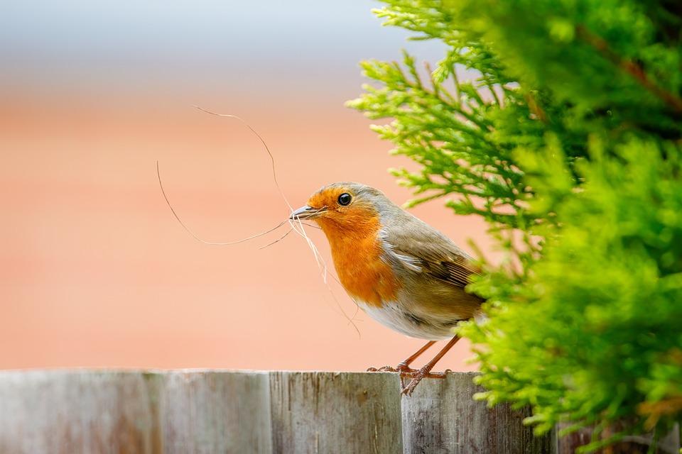 Robin, Bird, Perched, Perched Bird, Beak, Feathers