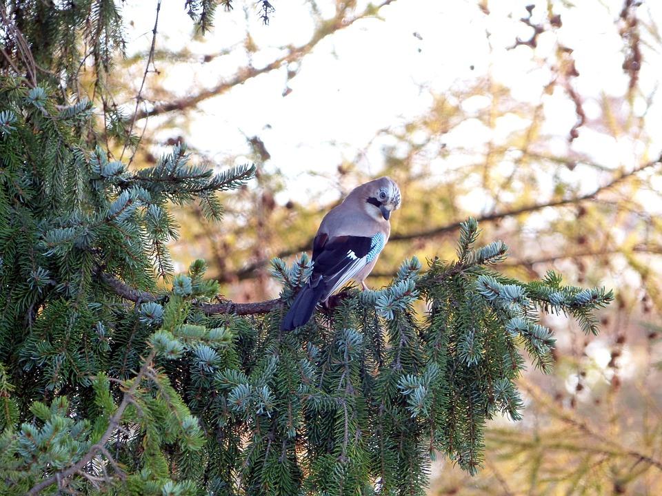 Jay, Bird, Perched, Animal, Feathers, Plumage, Beak