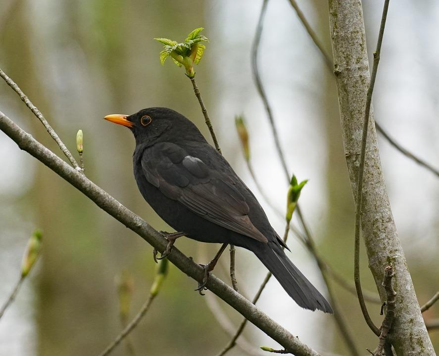Blackbird, Bird, Branch, Perched, Animal, Wildlife
