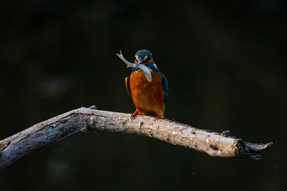 Bird, Kingfisher, Animal, Nature, Branch, Perched