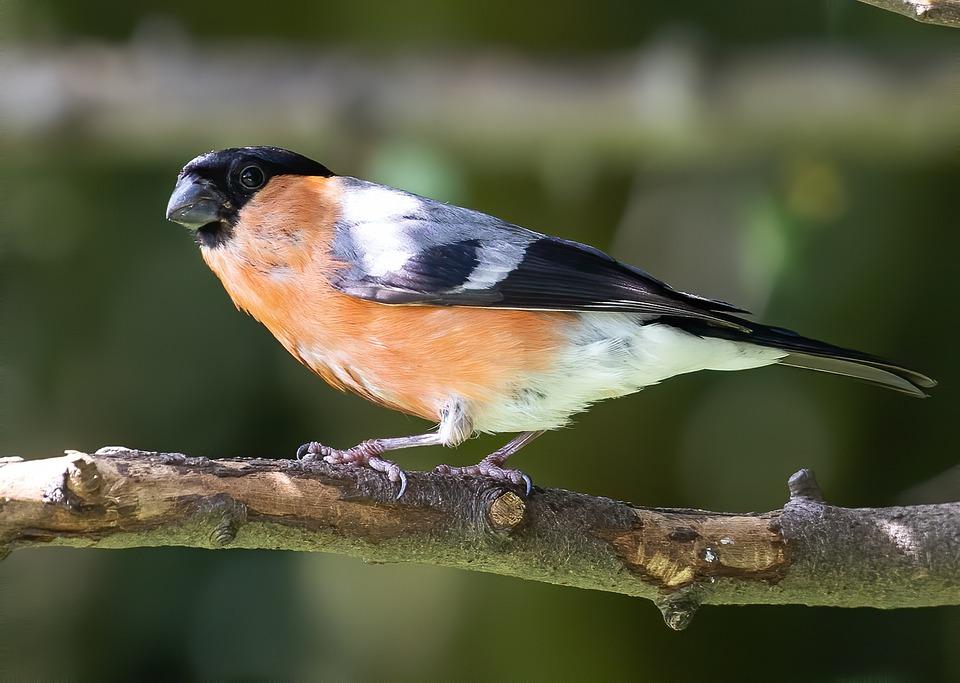 Bullfinch, Bird, Perched, Animal, Plumage, Feathers