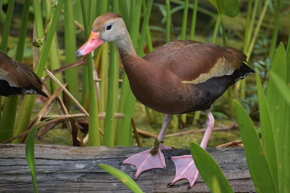 Duck, Bird, Perched, Animal, Plumage, Feathers, Beak