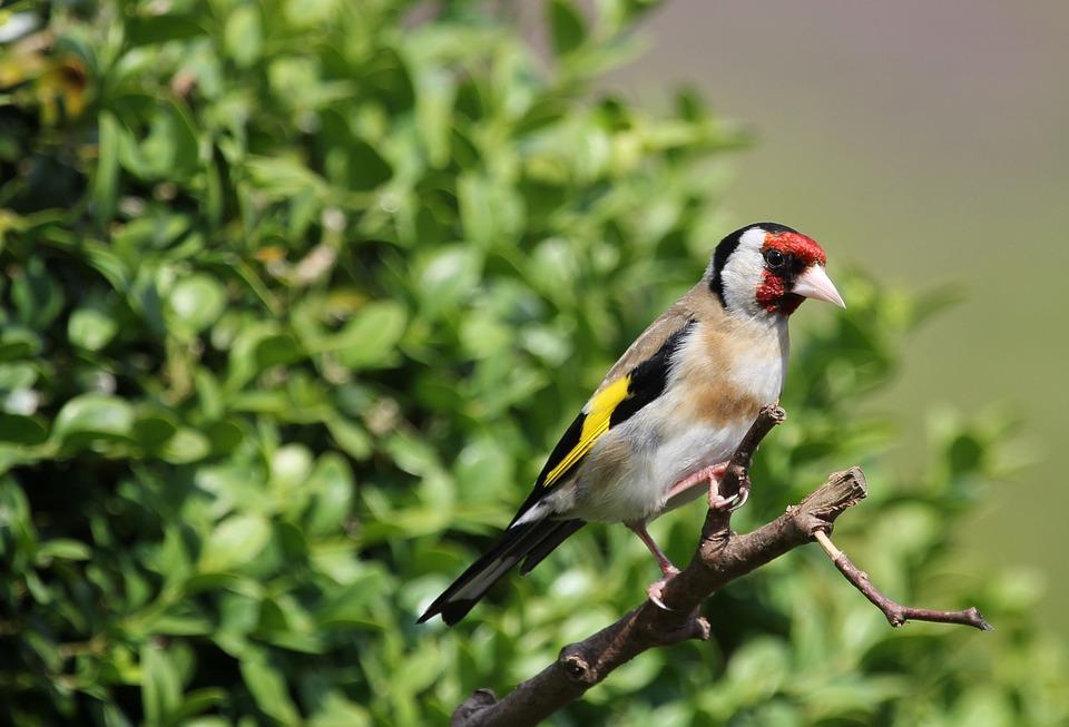Bird, Finch, Gold, Perched, Feather, Beak