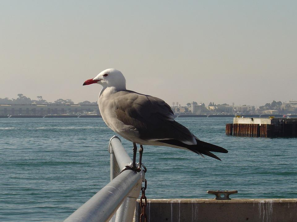 Seagull, Gull, Perched, Looking, Harbor, Bay, Sea