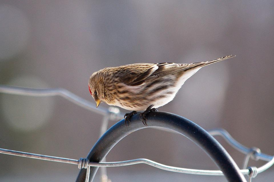 Redpoll, Bird, Wildlife, Nature, Feathers, Perched