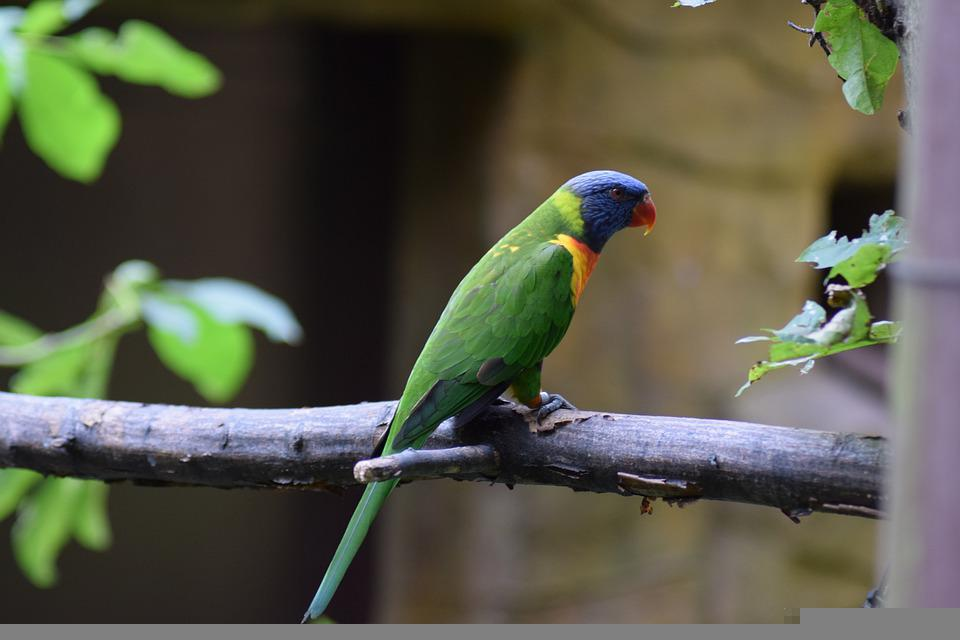 Parrot, Bird, Perched, Perched Parrot, Green Feathers