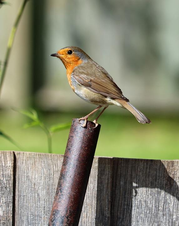 Robin, Perched, Bird, Song Bird, Garden Bird, Red