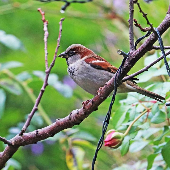 Bird, Sparrow, Perched, Tree, Wildlife, Garden, Nature