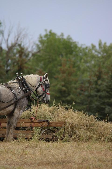Percheron, Hay, Standing, Harness, Grass, Nature