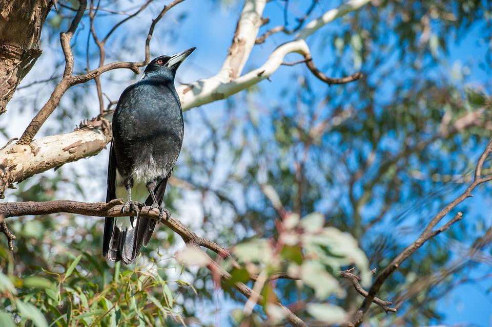 Magpie, Australia, Wild, Bird, Wildlife, Perching, Tree