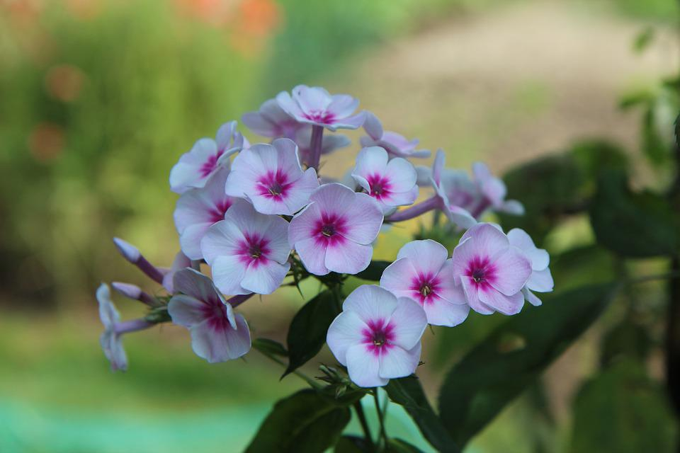 Phlox, Flowering, Flowers, Perennial, Botany