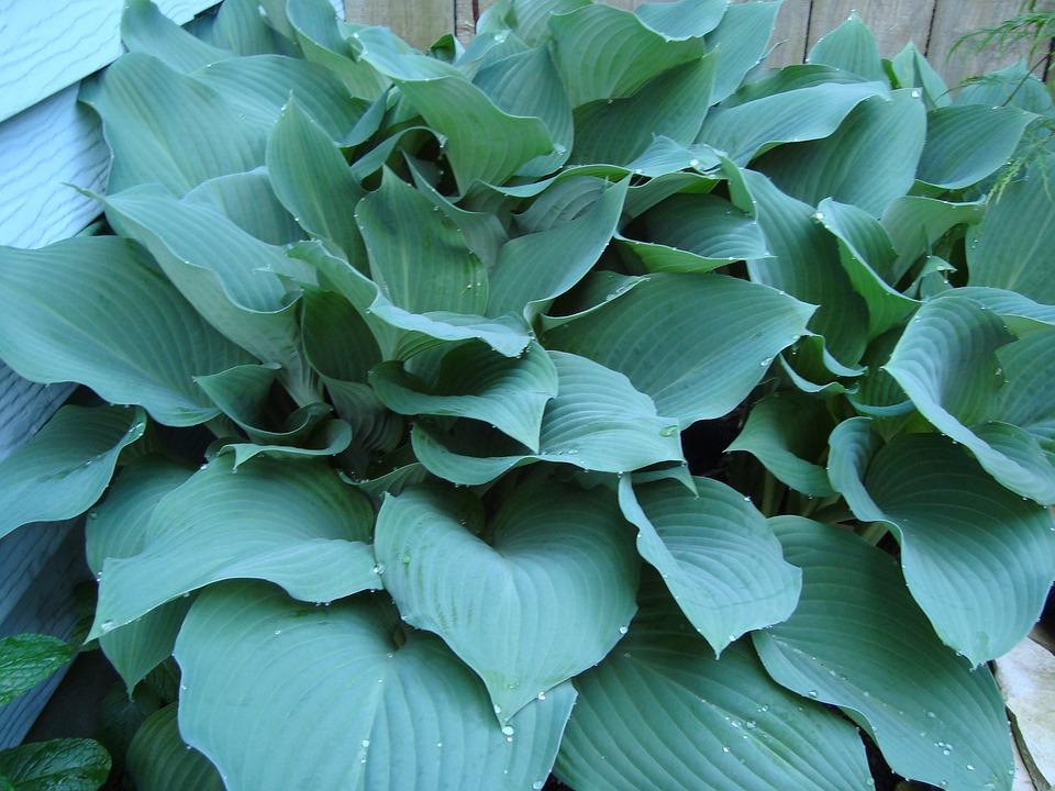 Hostas, Blue Hostas, Shade Plants, Perennial, Leaves