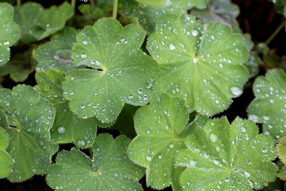 Lady's Mantle, Perennial, Water Drops