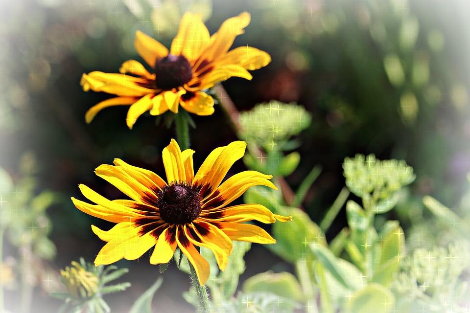 Black-eyed Susan, Flower, Perennial, Nature, Plant