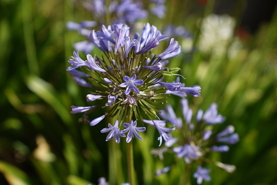 Lilly Of The Nile, African Bluebell, Perennial Plant