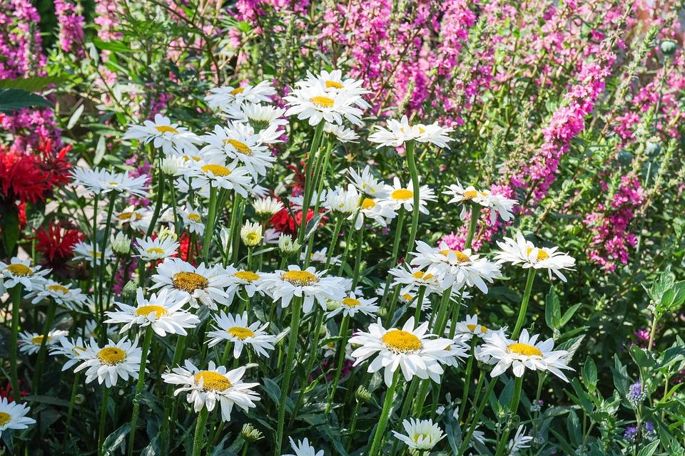 Daisies, Flowers, Perennials, Garden, Summer, Bloom