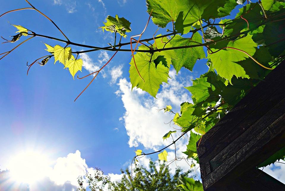 Creeper, Ivy, Plant, Climbing, Climber, Pergola, Skies