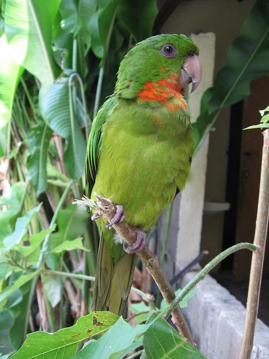 Perico, Green, Parrot, Copan
