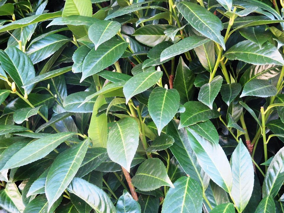 Cherry Laurel, Bush, Plant, Periwinkle