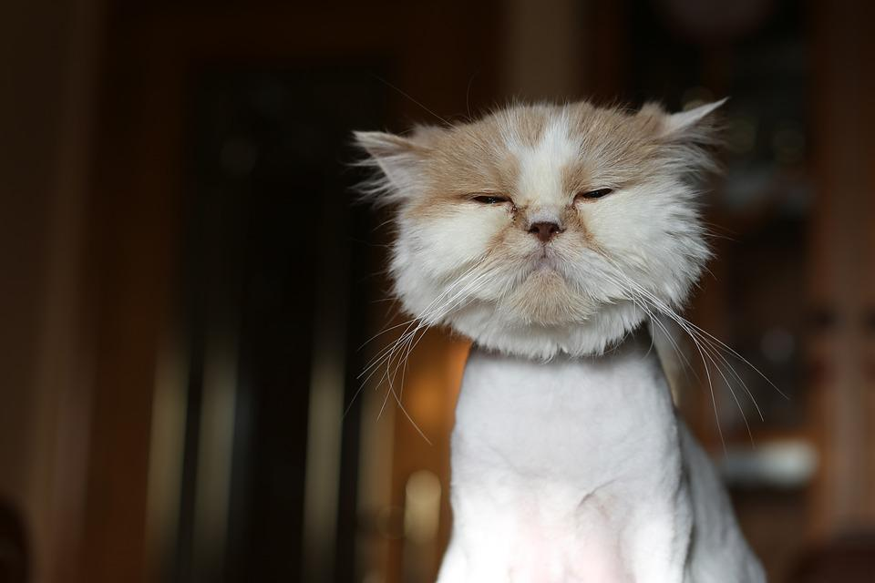 Cat, Pet, Feline, Animal, Peeled, Persian