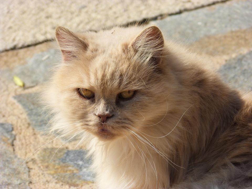 Persian Cat, Look, Cat