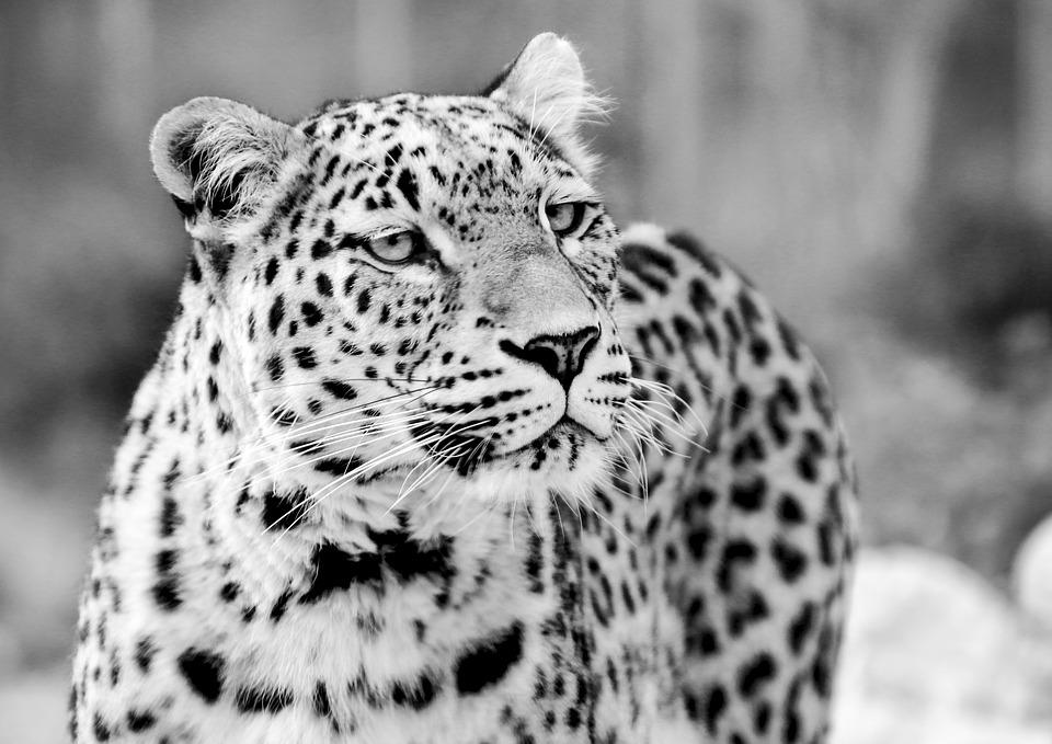 Persian Leopard, Leopard, Black And White