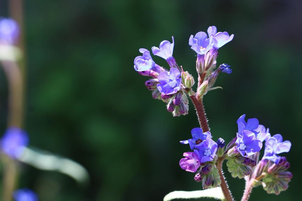 Flowers, Persian Speedwell