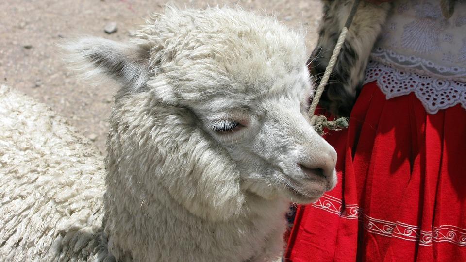 Alpaca, Peru, Andes, Animal, Furry, Cuddly, Nature
