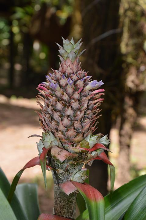 Pineapple, Fetus, Crop, Plant, Peru, Flora, Close Up