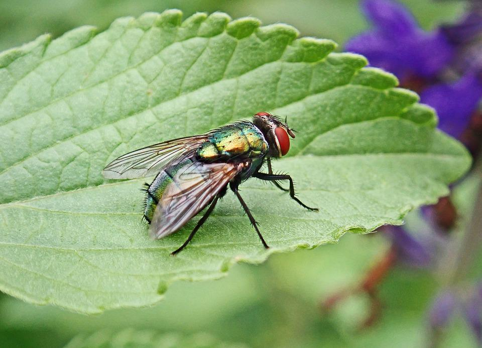 Fly, Insect, Pest, Colorful, Wildlife, Leaf, Garden