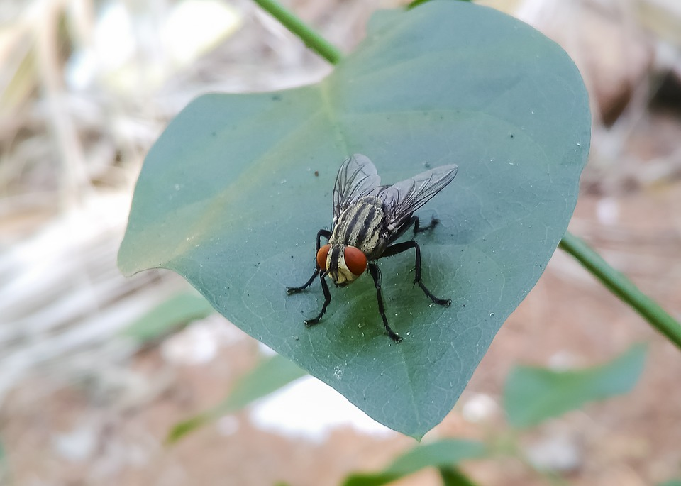 Musca Domestica, Housefly, Insect, Fly, Pest, Black