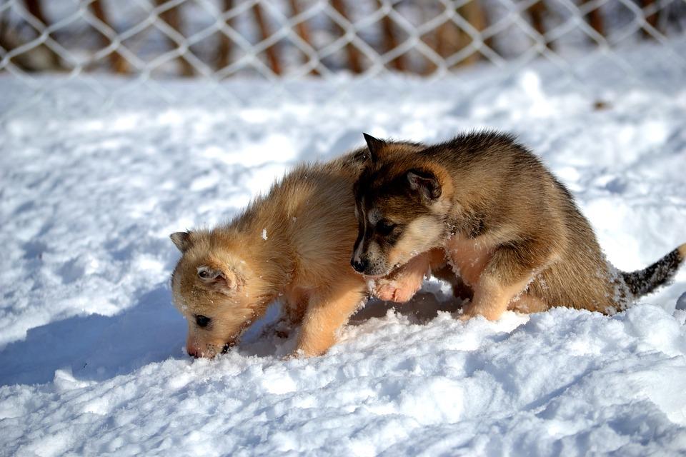 Siberian Husky, Puppies, Dog, Pet, Animal, Breed
