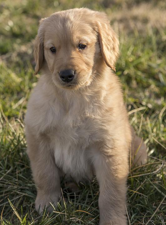 Golden Retriever, Puppy, Young, Dog, Pet, Animal