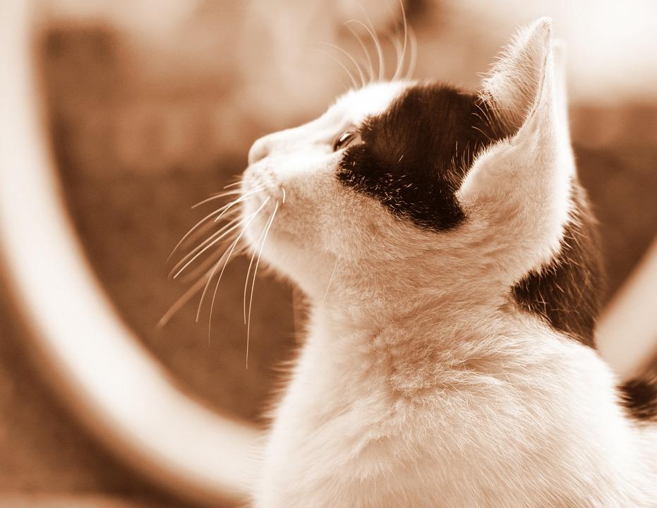Cute, Animal, Cat, Pet, Mammal, Kitten, Little