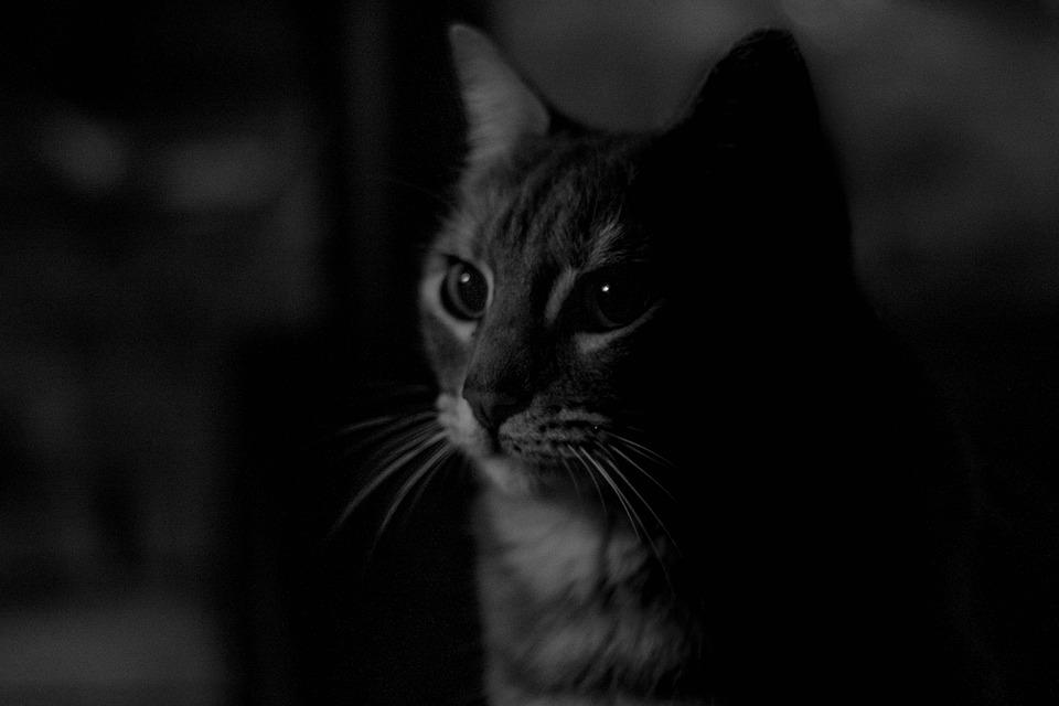 Cat, Feline, Pet, Animal, Kitty, Kitten, Look, Face