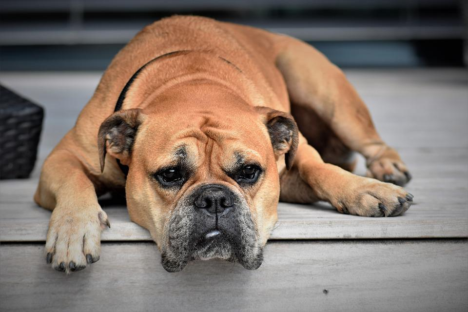 Continental Bulldog, Dog, Animal, Pet, Animal Portrait