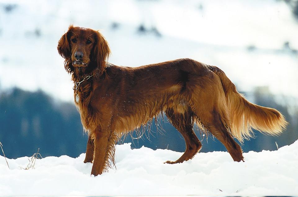 Animal, Pet, Setter, Dog