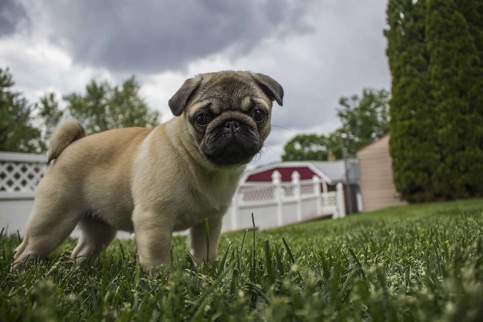 Pug, Puppy, Storm, Animal, Pet, Dog, Breed, Happy