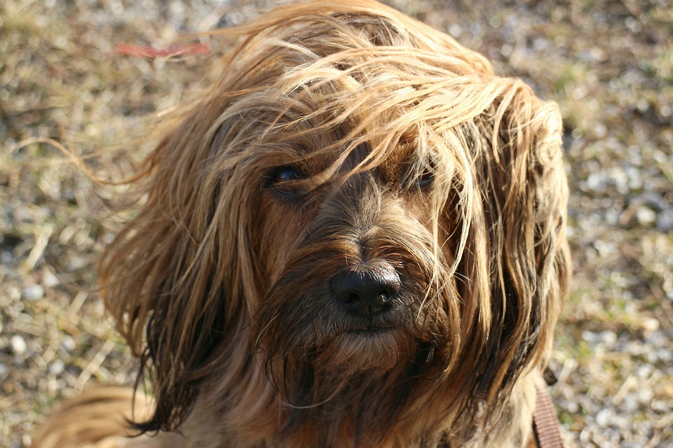 Terrier, Bitch, Tibetan Terrier, Pet, Animal, Dog