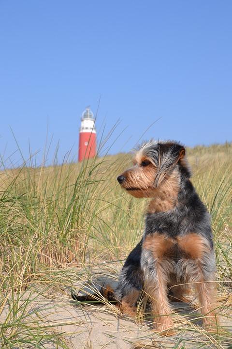 Dog, Hybrid, Wiener Yorkshire, Terrier, Animal, Pet