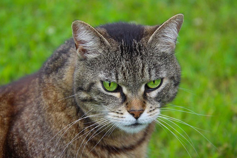 Cat, Animal, Head, Pet, Portrait, Animal World, Eyes