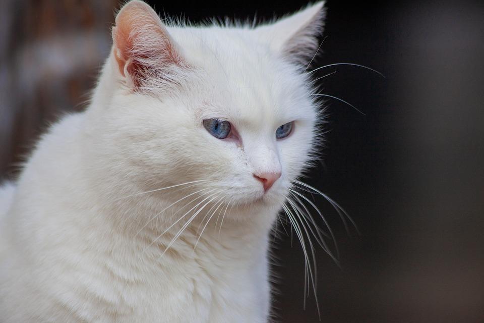 White Cat, Cat, White, Pet, Kitten, Animals, Eyes