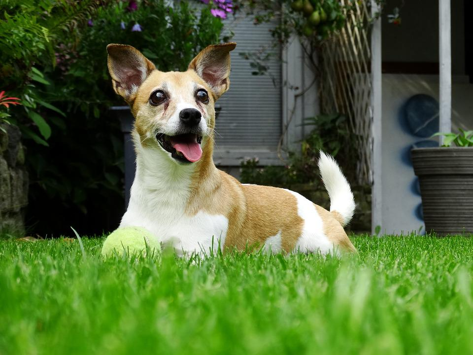 Doggy, Garden, Play, Dog, Animals, Jack Russell, Pet